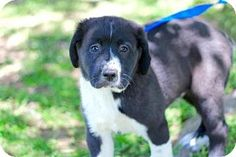 Portland, ME - Great Pyrenees Mix. Meet PUPPY NOMAD, a puppy for adoption. http://www.adoptapet.com/pet/17962719-portland-maine-great-pyrenees-mix