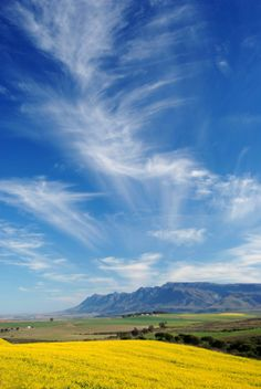 Canola, Wheat Fields & Soft Clouds in the Overberg in South Africa