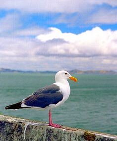 Sea Gull...idea for a foot tat