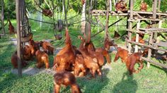 Nyaru Menteng Orangutan Reintroduction Project:  Borneo Orangutan Survival