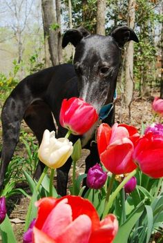 Phoebe with the spring flowers!  #greyhounds #galtx