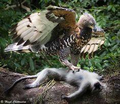 Harpy Eagle Eating Monkey | ... cryptids comes to item number 8 ngoima the monkey eating eagle the