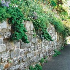 Use plants to soften a rugged expanse of masonry, like these Japanese garden junipers that tumble down this mortared-stone wall.