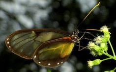 https://flic.kr/p/cTHPh5 | Clearwing butterfly
