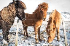 More horses of Island. Did you know that Island has not imported other horses in 1000 years? And once a horse is exported it can never come back. There breed is pure :-) / Islandské kone. Vedeli ste, že Island za 1000 rokov neimportoval iné kone? Tiež ak sa kôn' vyvezie ten sa nesmie vratit spät'. Tam je plemeno čisté. / Koni Islanda. Dali ste znali da Island za prošlih 1000 godina nije uvezlo druge konje. I ako se konj izveze sa ostrva taj se ne sme vratiti.Tamo je rasa čista.