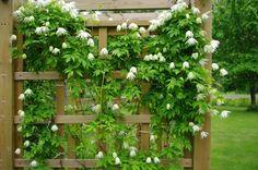 Klematisen Albina Plea är tålig, blommar tidigt och klarar skugga.