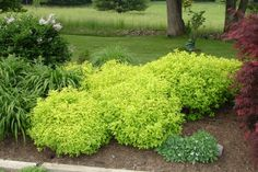 Goldmound Spirea has an enormous amount of advantages. It has 3 season interest, with reddish-tipped spouts in the spring, giving way to a bright lemon green shade all summer. While in that almost neon green stage, it flowers – pink clusters in mid-summer. The flowers are more of a bonus than a reason to get this bush, though. The summer color is the main draw, as it really brightens up an area, and gives an unusual backdrop to annuals. What a great contrast with the Japanese red leaf maple!