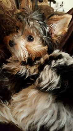 Diane Thompson - my 5 month old Biewer Yorkie Harley.