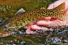 By Toner Mitchell Since its birth, fly fishing has been touted as an effective, even necessary, antidote to the poisonously serious life. American obsessions—careers, children, outward appearances...