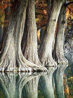 Cypress Trees, they look like big elephant feet walking in the water...