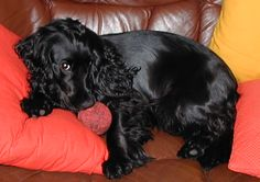 Dog breed:  Black Cocker Spaniel