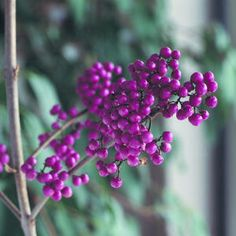8 plants with cool-season berries | Beautyberry (Callicarpa bodinieri 'Profusion') | Sunset.com Round clusters of amethyst to purple berries remain on bare stems after willowlike leaves turn color and drop.  This deciduous shrub grows 6 feet tall (sometimes more) and almost as wide. Full sun or light shade. Sunset climate zones 3-9, 14-24.