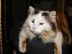 Scruffy Leo! is an adoptable Ragdoll mix Cat in Cincinnati, OH. Leo was trapped on the streets of Middletown.....we thought he was a wild cat, but oh my is he FRIENDLY! He loves to be held and will rub h...
