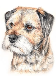 Border Terrier with color pencil.