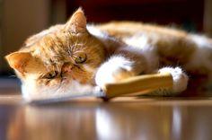 Рыжие коты (фото): солнечные символы счастья, тепла и материального благополучия  Смотри больше http://kot-pes.com/ryzhie-koty-foto-solnechnye-simvoly-schastya-tepla-i-materialnogo-blagopoluchiya/