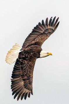Soaring by jackye Bald Eagle Tattoos, Bird Barn, Barn Owls, Eagle Wallpaper, Eagle Drawing, Eagle Pictures, Eagle Art, Eagle Wings, Rabe