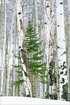 A single pine tree grows in a Winter Aspen Forest