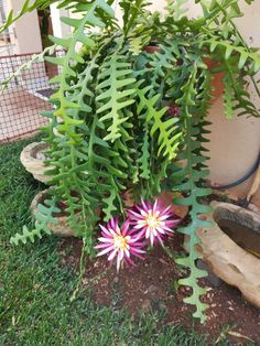Wat ''n beaut! So gesond. Succulents In Containers, Cacti And Succulents, Planting Succulents, Cactus Plants, Planting Flowers, Unusual Flowers, Unusual Plants, Hoya Plante, Drought Resistant Plants