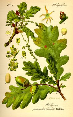 Oak tree foliage and acorns, Quercus robur illustration by W. Muller from Flora von Deutschland, Österreich und der Schweiz by Prof. Dr. Otto Wilhelm Thomé, Germany, 1885