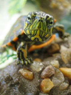 Terrific Pictures turtles pet red eared slider Tips : 4 factors to comprehend aquatic turtles Encounter: Newbie Size: People expand about 8 to help 12 inches width cm) extensive Lifespan: Turtles r. Turtle Time, Pet Turtle, Red Ear Turtle, Turtle Neck, Cute Baby Turtles, Cute Baby Animals, Box Turtles, Beautiful Creatures, Animals Beautiful