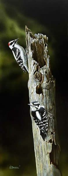 Downey Woodpeckers an acrylic Painting by Wildlife Artist Danny O'Driscoll