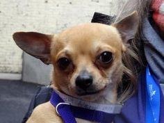 Stud is an adoptable Chihuahua Dog in Lake Ronkonkoma, NY. Stud is a super sweet, playful tiny little boy. He's great with other dogs, isn't a barker, takes teats very gently, is house-broken and is j...