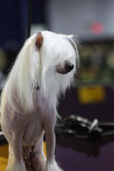 #Chinese Crested ...Westminster Dog Show 2013