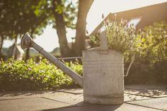 Levendula öntözése – sok vízzel, vagy kevéssel? Érdekességek, információk, hogyan locsoljuk, ha azt szeretnénk, hogy gyönyörű ékességei lehessenek a kertnek, balkonnak Watering Can, Canning, Home Canning, Conservation