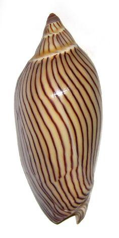AMORIA ELLIOTI VOLUTIDAE Specimen Sea Shell Picture (TS99367-AUSTRALIA - PORT HEDLAND)