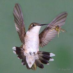 humming bird bee faceoff photo