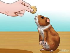 Image titled Train Your Guinea Pig Step 2
