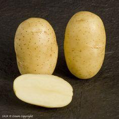 Αρχείο:Ποικιλία πατάτας Burren.jpeg
