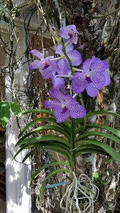 Minha orquídea