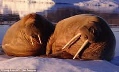 Basking in the sunlight: Two walrus in Greenland perch on the ice