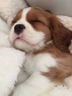 Love Love Love the little Cavalier King Charles Spaniels!