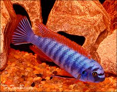 A young mature Male Trewavasae Mbuna named Tré. To see more click on ... http://www.AquariumFish.net/catalog_pages/cichlids_african/mbuna_cichlids_table.htm#2153