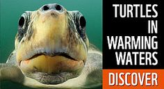 Discover how WWF is working to protect turtles. / ©: naturepl.com / Solvin Zankl / WWF
