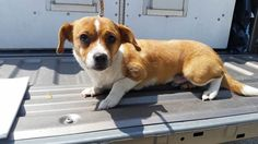 ***SUPER SUPER URGENT!!!*** - PLEASE SAVE RANDY!! - EU DATE: 6/22/2015 -- Randy (04222015f-D16) Breed:Terrier (mix breed) Age: Young adult Gender: Male Size: Small Special needs: hasShots, Shelter Information: Delano Animal Shelter 1525 Mettler Avenue  Delano, CA Shelter dog ID: 04222015f-d16 Contacts: Phone: 661-721-3377 Name: Delano Animal Control email: SHELTER661@GMAIL.COM  Read more at http://www.dogsindanger.com/dog/1433280020517#XeBiyYsXRRetvcGe.99