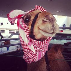 What are you looking at? Well, a camel with it's head wrapped in scarf...what else?