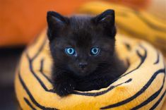 Black cats are mysterious and beautiful, as any black cat owner will tell you. Find a special name for your sable kitty with our top black cat names. Names For Black Cats, Cute Black Cats, Cat Names, Cute Cats, Kitten Names, Funny Cats, Baby Kittens, Cats And Kittens, Siamese Cats