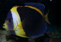 Chaetodontoplus Duboulayi: http://www.wikimarino.com/pez/chaetodontoplus-duboulayi/