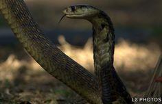 Naja annulifera – A naja é uma serpente encontrada ao sul do continente africano, em países como África do Sul, Moçambique, Botsuana, Malauí, Suazilândia e Zimbábue. Vive nas savanas e áreas rochosas, passando a maior parte da vida no solo, muitas vezes se escondendo em cupinzeiros abandonados.