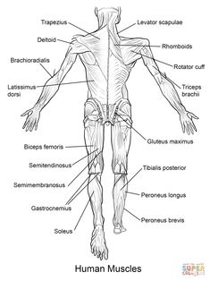 Blank Head and Neck Muscles Diagram | body muscles ...