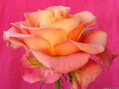 Beautiful rose. I love the colors!