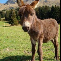 Are you looking at me??? Donkeys, Goats, Cow, Animals, Animales, Animaux, Donkey, Animal, Animais