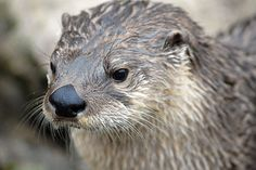Countless otters are trapped and killed so their unique fur can be turned into clothing. Trappers are now using brutal underwater traps, which kill the poor otters by violently drowning them. Sign this petition to demand an end to otter trapping.