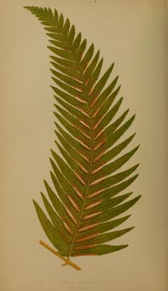 Pteris Kingiana.  Ferns: British and exotic... - Biodiversity Heritage Library
