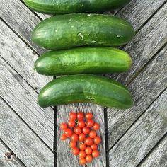 repost via @hildebebe Kanskje jeg skulle spedd på med litt gjødning. #verdens #minste #tomater #dagens #innhøsting #mikro #grønnsaker #grønt #øko #kortreist #hage #selvdyrket #veggies #grow #tomatoes #cucumbers #green #eco #garden #mygarden #gardening #food #instafood #microgreens #growsomethinggreen #urbanorganicgardener #urbangardenersrepublic #urbangardeners #growyourownfood #nofilter by urbanorganicgardener