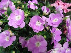 Nome das Flores ~ FESTA DA FLOR - MADEIRA