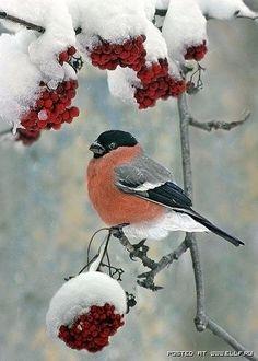 Snow on mountain ash berries